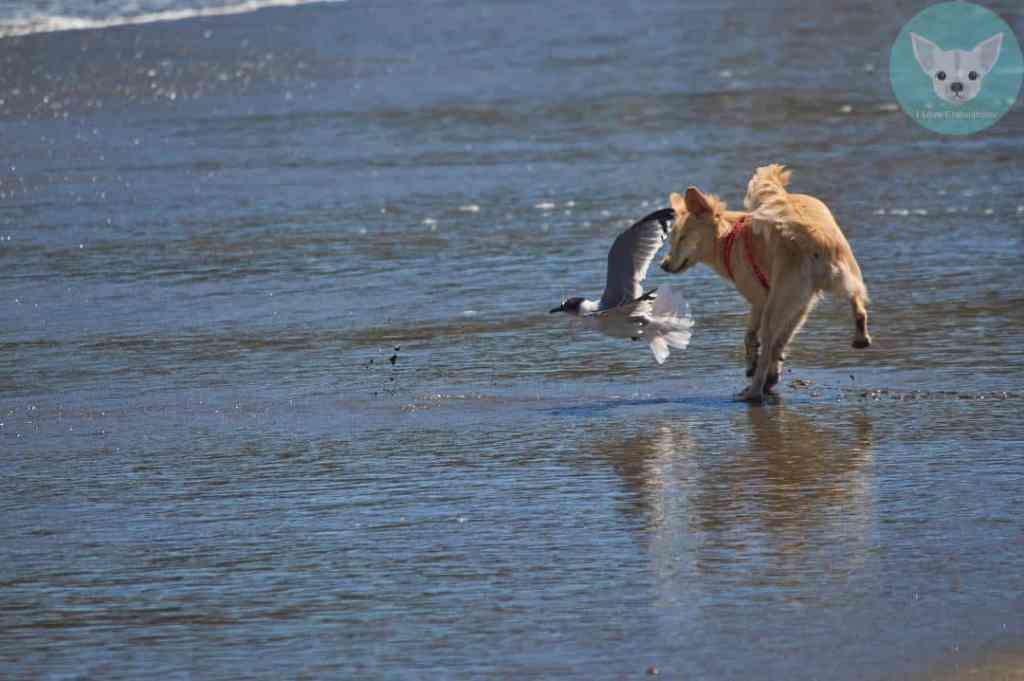 dog chasing seagull