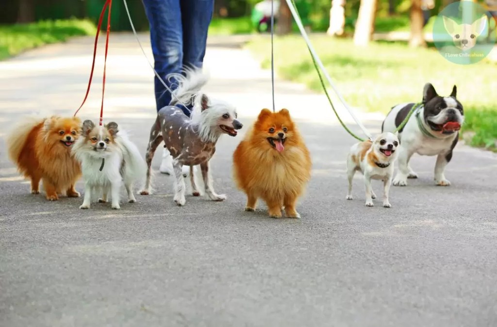 chihuahuas pack leashed