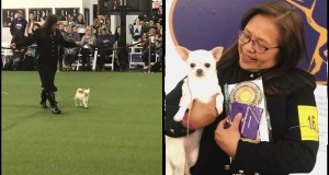 Chihuahua-owner-earned-merit-prize-at-2020-Westminster-Dog-Show