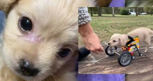 Dumped Disabled Chihuahua Puppy Smiles Again After A Boy Made Her Walk Again