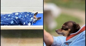 Senior Chihuahua Left At Shelter After Owner Passed Away – Cries Every Night