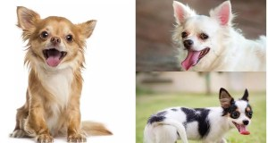 Breathing Problems In The Chihuahua