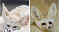 Chihuahua Developmental History