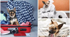 How the tiny Chihuahua can lead to a gigantic repair bill for home owners