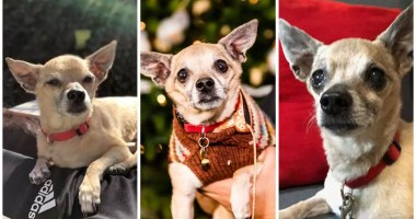 Only love for a senior Chihuahua