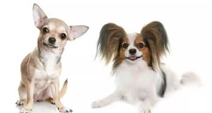 Papillon Chihuahua Mix – The Cute Little Chion!