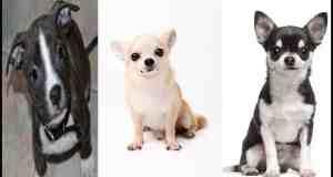 Pitbull Chihuahua Mix – A Lovable Oddball