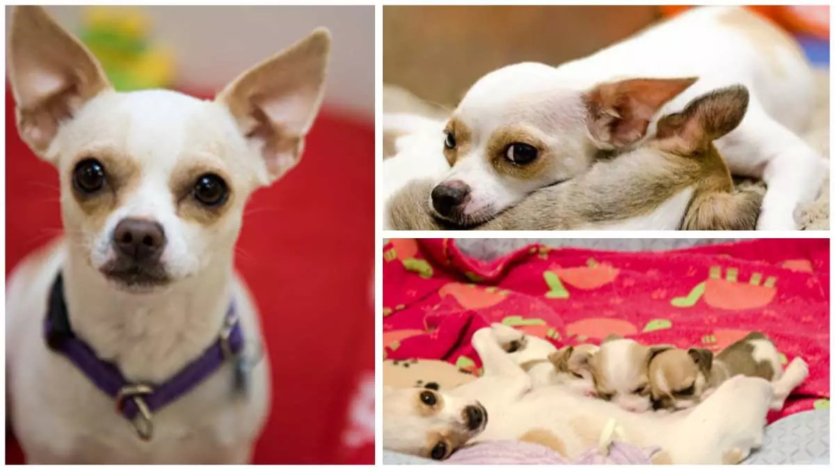 Intense Chihuahua mother: Dogtown's greatest minimal darling