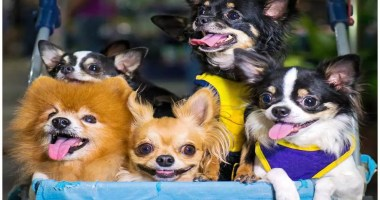 14-Reasons-That-It-Is-a-Good-Idea-To-Adopt-a-Chihuahua