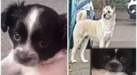 Bella the chihuahua 'dragged under the fence' and finished by Akita as the owner watched