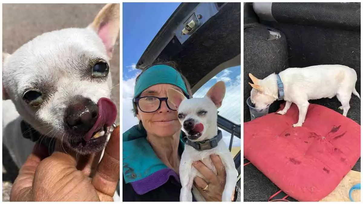 Chihuahua endure 7 days in Colorado wild after found by great Samaritan, one dog actually absent