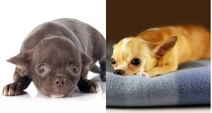 Do Chihuahuas Get Along With Other Dogs? 10 Breeds Reviewed