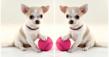 Indoor Games to Play with your Chihuahua