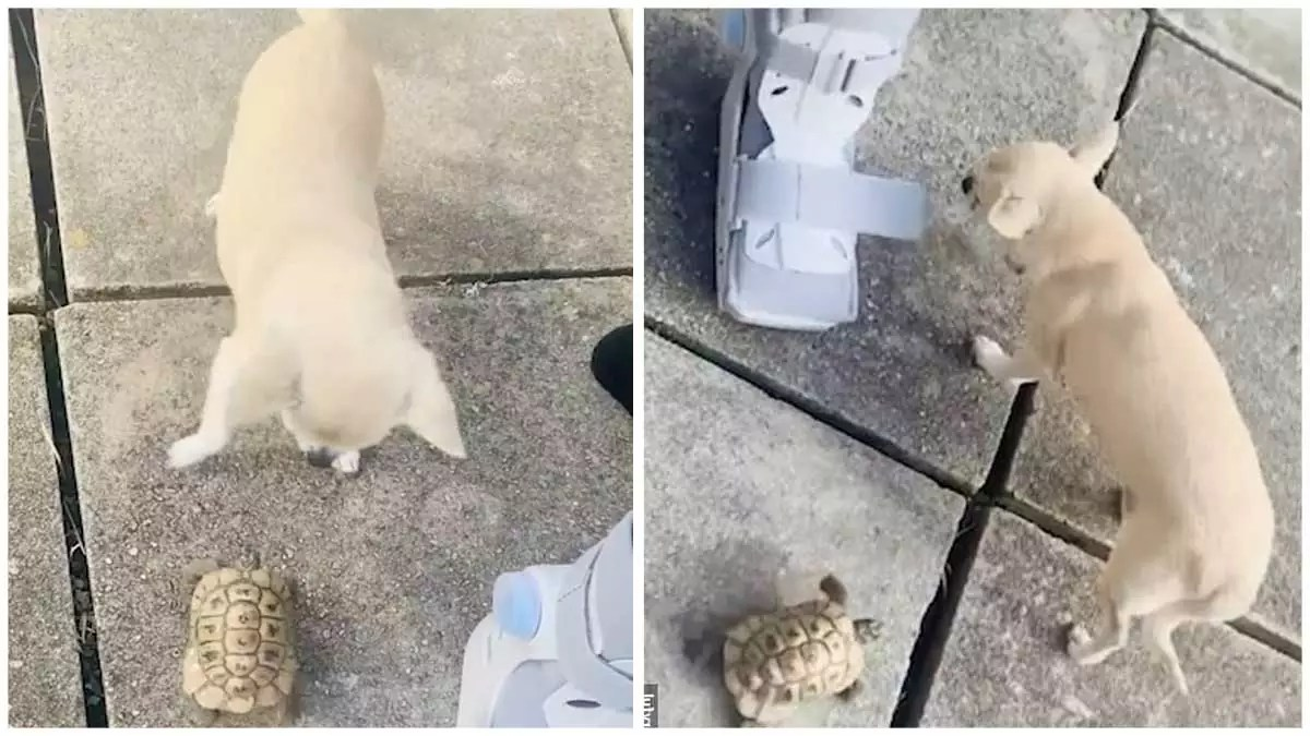 Surprisingly speedy tortoise turns the tables on chihuahua and chases after the terrified pooch