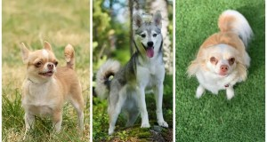 Ancient Gene Variant Influences Coat Color in Modern Dogs