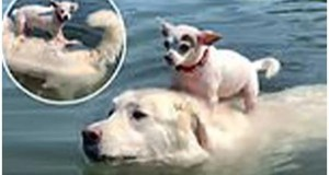 Bark Spitz! Cute video shows dog swimming in the pool while carrying chihuahua on his back