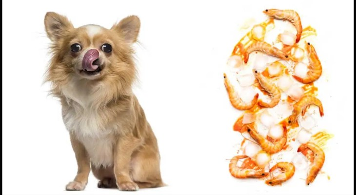 Can Chihuahua Eat Shrimp? Alternatives to Your Chihuahua's Favorites Seafood