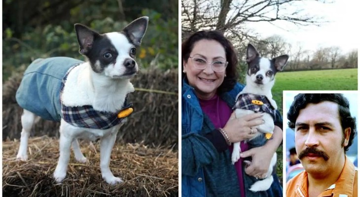 Chihuahua called Pablo Escobar slapped with dog control order for terrorizing sheep
