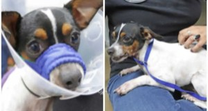 HSOY steps in to save seriously injured Chihuahua