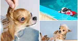 How often should you bathe your chihuahua?