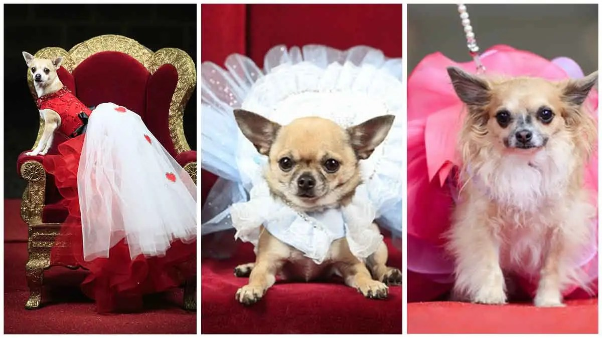 Little dogs dressed as large characters for Furbabies Expo