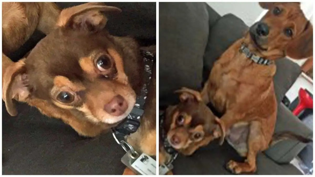Lost Chihuahua in Bishop   Help bring this puppy home to his family!