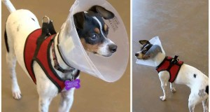 Meet Smores, a lovable Chihuahua mix who needs your help