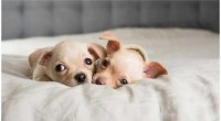 NEWBORN PUPPIES CRYING – COMMON REASONS AND SOLUTIONS