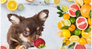 Vitamin C For chihuahua: Is It Necessary