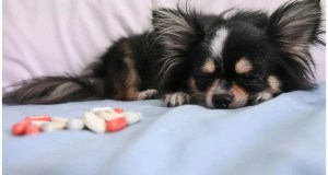 Can Chihuahua catch human colds? No, but they can get their own version of a cold