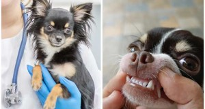 The dangers of periodontal gum disease in chihuahuas: what you need to know