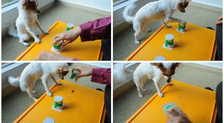 Amazing Chihuahua Plays A Game Of Cups!