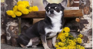 Black and White Chihuahua Puppies, Adults, and Seniors