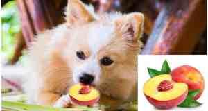 Can Chihuahua Eat Peaches?