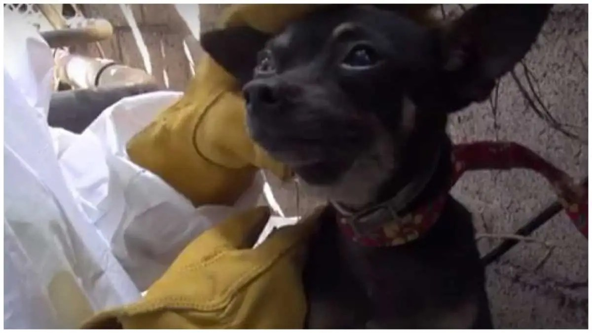 Chihuahua Climbs Wall To Escape Rescuers: Learns The Joys of Head Scratches