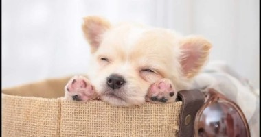 Chihuahua Puppies: Cute Pictures And Facts