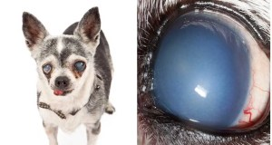 Corneal Endothelial Degeneration Chihuahua