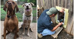 Neighbors build a door in a fence so their pups to hang out whenever they want