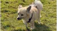 Rhondda chihuahua Enzo survives 11 freezing nights