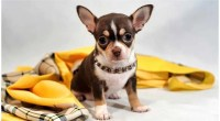 Why Do My Chihuahua Moan?