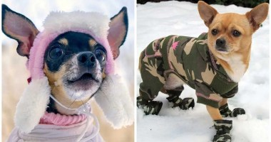 Winter care tips for your Chihuahua
