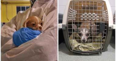 12 dogs seized from Vancouver Island breeder