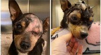 Abused Chihuahua recovering at Foothills Animal Shelter in Golden