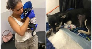 Chihuahua fighting for life after an attack by a female dog!