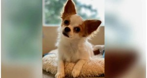 LOST DOG: Chihuahua at Lincoln Park – February 11
