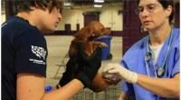More than 200 Chihuahuas have been rescued from a hoarder