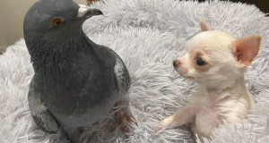 Chihuahua and Pigeon