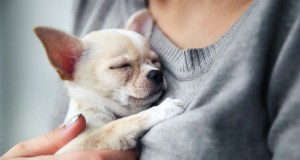 Man took Chihuahua dog