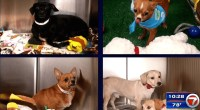 29 Chihuahuas Up for Adoption in Miami-Dade
