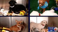Chihuahuas up for adoption